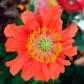 coralpoppy1_web