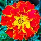 marigoldred_web - Copy