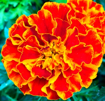 marigoldredorange_web - Copy