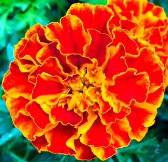 marigoldredorange_web - Copy