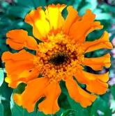 orangemarigold_web
