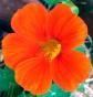 orangenasturtion_web