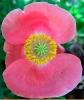 pinkcoralpoppy_web