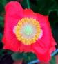redpoppy8_web