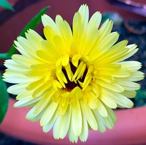 yellowdaisy1_web