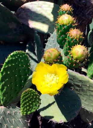 cactusyellow_web