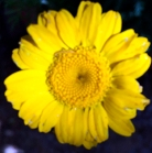 daisyyellow1_web - Copy