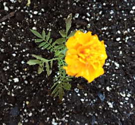 firstmarigold