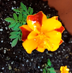 firstmarigold2
