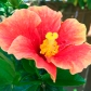 hibiscus2_web