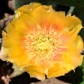 orangecactusflower