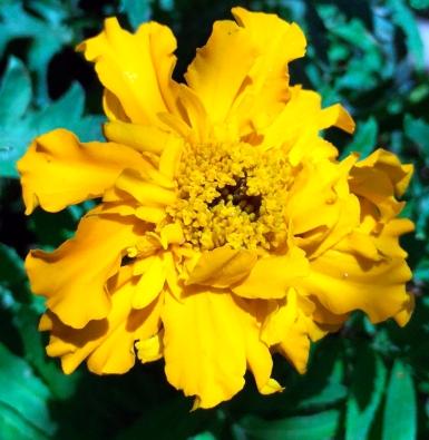 orangemarigold2