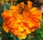 orangemarigold3