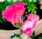 pinksnapdragons