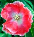 poppypinkwhite2
