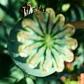 poppypod - Copy