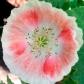 poppywhitepink