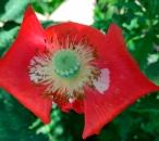 redpoppy3