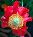 redpoppy5