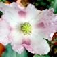 whitepoppy1