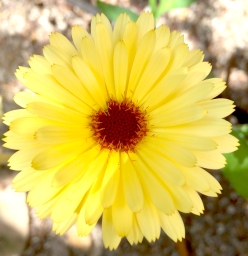 yellowcalendula