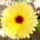 yellowcalendula