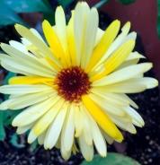 yellowcalendula2