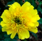 yellowmarigold