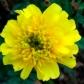 yellowmarigold