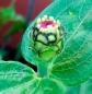 zinniaflowerpod