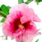 Hollyhock Bloom